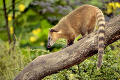 South American Coati on branch. South American Coati, or Ring-tailed Coati (Nasua nasua), standing on branch tree Royalty Free Stock Images
