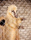 South American coati in cage Royalty Free Stock Photos