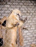 South American coati in cage Royalty Free Stock Images