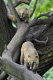 South American Coati Royalty Free Stock Photography
