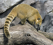 South american coati 1 Royalty Free Stock Photo