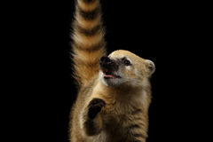 South American coati, Nasua  on Black Background Royalty Free Stock Images