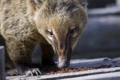South American coati (Nasua nasua). A South American coati eat raisins stock image