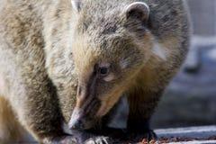 South American coati (Nasua nasua). Portrait of a South American coati stock images