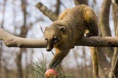 South American coati (Nasua nasua). A South American coati tries to reach an apple royalty free stock image