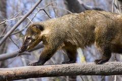 South American coati (Nasua nasua). A South American coati is running on a tree Royalty Free Stock Photo