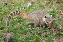 South American coati Nasua nasua Stock Images