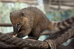 South American coati (Nasua nasua) Stock Image