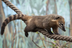 South American coati (Nasua nasua) Royalty Free Stock Images