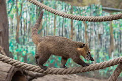 South American coati (Nasua nasua) Stock Photography