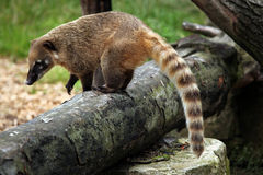 South American coati (Nasua nasua). South American coati (Nasua nasua), also known as the ring-tailed coati. Wildlife animal Royalty Free Stock Images