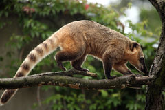 South American coati (Nasua nasua). Royalty Free Stock Images