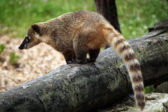 South American coati Nasua nasua. Also known as the ring-tailed coati. Wildlife animal Stock Image