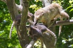 South American coati (Nasua nasua) babies Stock Photos