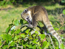 South American coati (Nasua nasua) baby Stock Photo