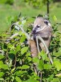 South American coati (Nasua nasua) baby Royalty Free Stock Image