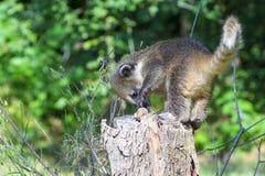 South American coati (Nasua nasua) baby Royalty Free Stock Photos