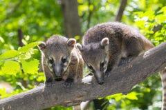 South American coati (Nasua nasua) baby Royalty Free Stock Photo