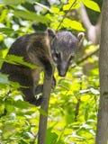 South American coati (Nasua nasua) baby Stock Images