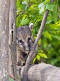 South American coati (Nasua nasua) baby Stock Photography
