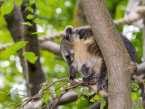 South American coati (Nasua nasua) baby Stock Image