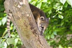 South American coati (Nasua nasua) baby Royalty Free Stock Images