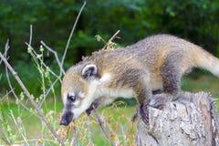 South American coati (Nasua nasua) baby stock photos