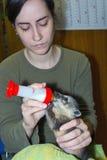 South American coati (Nasua nasua) baby royalty free stock photography