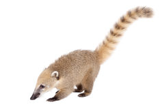 South American coati, Nasua nasua, baby on white. South American coati, Nasua nasua, baby  on white background Royalty Free Stock Image