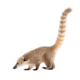 South American coati, Nasua nasua, baby on white Stock Image