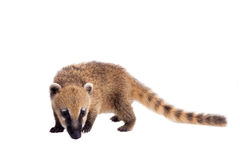 South American coati, Nasua nasua, baby on white. South American coati, Nasua nasua, baby isolated on white background Stock Photos