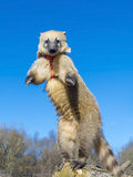 South-American coati royalty free stock photo