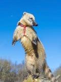 South-American coati stock photo