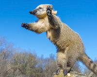 South-American coati stock photography
