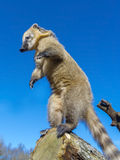 South-American coati royalty free stock images