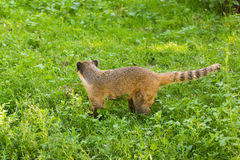 South American coati, Nasua nasua, in the nature habitat. Animal from tropic forest. Wildlife scene from the green Royalty Free Stock Photography