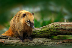 South American coati, Nasua nasua, in the nature habitat. Animal from tropic forest. Wildlife scene from the nature. Mexico Royalty Free Stock Photos