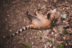 South American coati Nasua nasua playing with itself Stock Photography