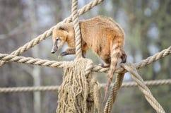 South American coati - Nasua Nasua Stock Photos