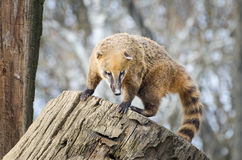 South American coati - Nasua Nasua. South American coati or  ring-tailed coati - Nasua Nasua Royalty Free Stock Images