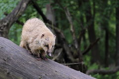 South american coati Royalty Free Stock Image
