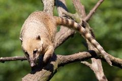 South American coati (Nasua nasua) walking Royalty Free Stock Photos