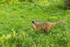 South American coati, Nasua nasua, in the nature habitat. Animal from tropic forest. Wildlife scene from the green Stock Photos