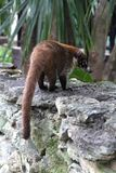 Coati Nasua. South American coati Nasua outside Royalty Free Stock Photo