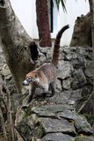 Coati Nasua. South American coati Nasua outside Stock Photography
