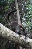 Coati Nasua. South American coati Nasua on tree branch Royalty Free Stock Photography
