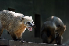 South American coati, or ring-tailed coati Stock Photo