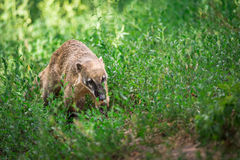 South American coati, or ring-tailed coati Stock Images