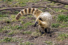 South american coati. (ring tailed coati, coatimundi, Nasua nasua). Diurnal mammals native to South America, adult animals measure 33-69 cm from head to the Stock Photography