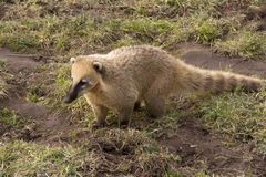 South american coati Royalty Free Stock Photos